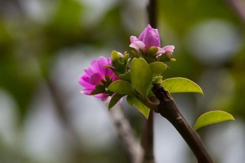 54-pereskia-grandifolia