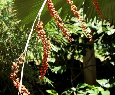32-fruto-palmeira