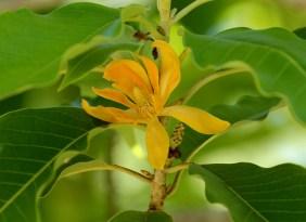 50-magnolia