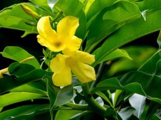 030-familia-apocinaceae