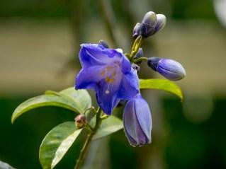 047-maripa-violaceae