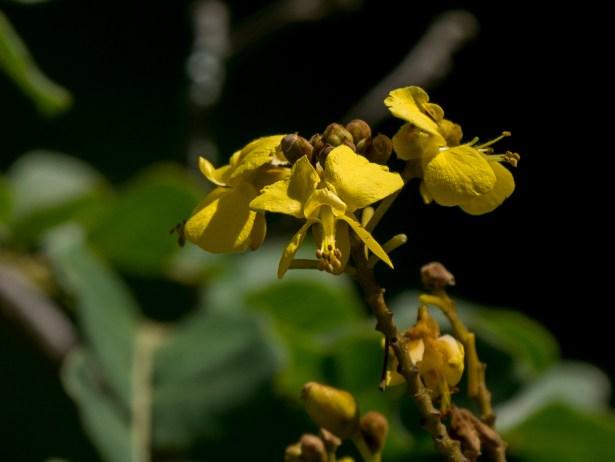 069-poincianella-pyramidalis