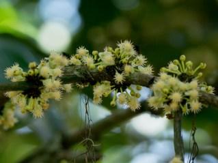 103-calophyllum-brasiliensis