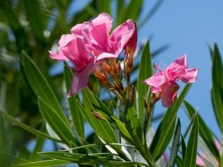 103-nerium-oleander