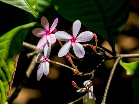 114-kopsia-fruticosa