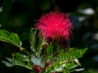 115-calliandra-harrisii