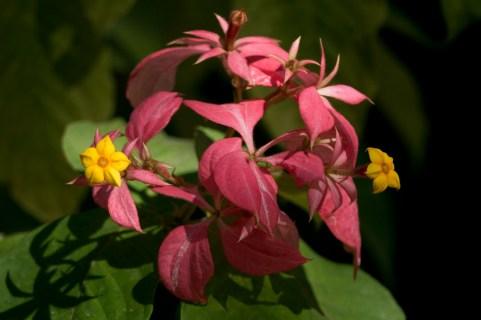 30-mussaenda-erythrophylla