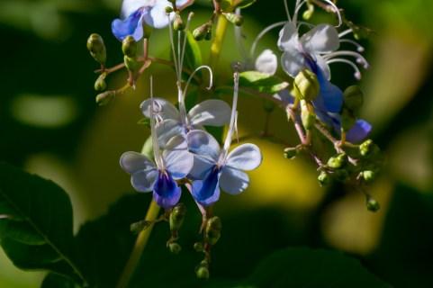31-rotheca-myricoides