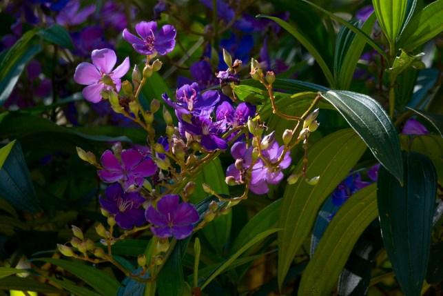 35-tibouchina-granulosa