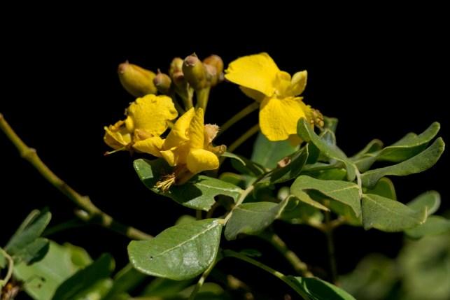 47-poincianella-pyramidalis