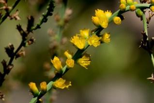 56-dyckia-brevifolia