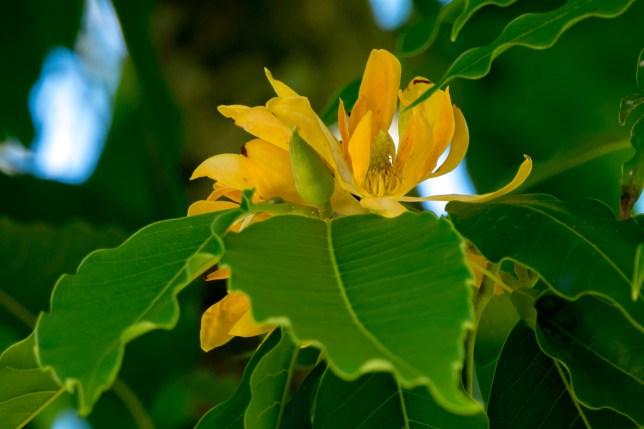 58-magnolia-champaca