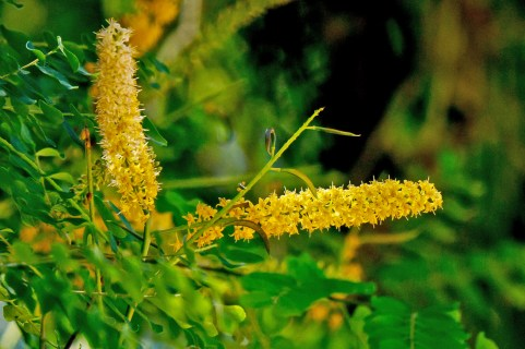 71-adenanthera-pavonina