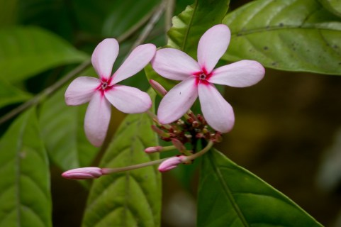 76-kopsia-fruticosa