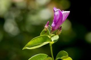 78-cryptostegia-grandiflora
