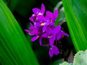 Orquídea grapete