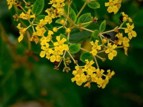 Banisteriopsis laevifolia