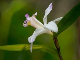 Orquídea sobrália