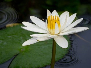 03-nymphaea-lotus