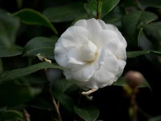 04-camellia-japonica