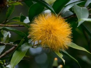 28-stifftia-chrysanthea