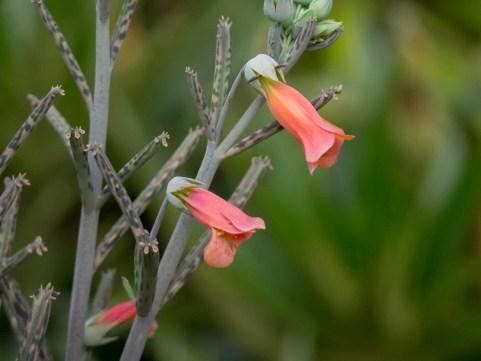 36-kalanchoe-tubiflora