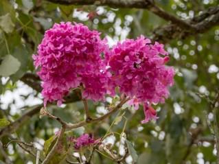 40-handroanthus-heptaphylla