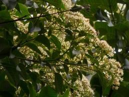 46-calycophyllum-spruceanum