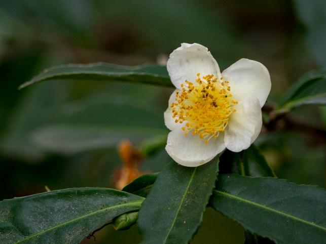 53-camellia-sinensis