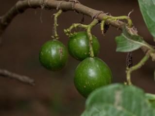 54-vangueria-madagascariensis