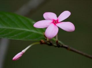 55-kopsia-fruticosa