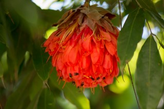 04-brownea-grandiceps