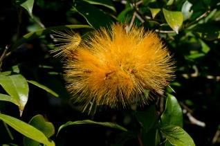 31-stifftia-crysantha