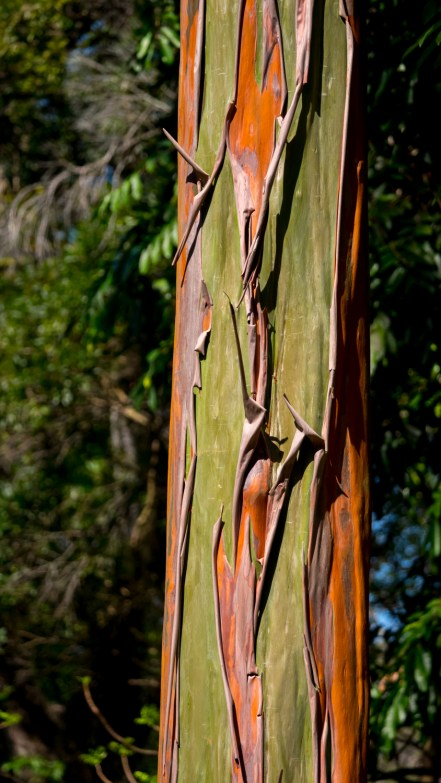 01-calycophyllum-spruceanum-tronco
