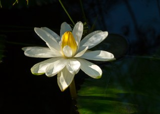15-nymphaea-lotus