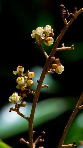 54-carapa-guianensis