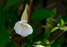 62-thumbergia-erecta