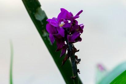 11-spathoglotis-unguiculata
