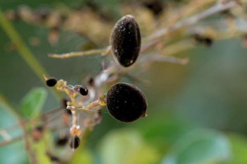 31-diallium-guineense