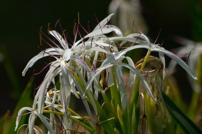 40-crinum-asiaticum