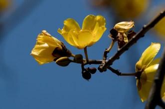 46-cochlospermum-vitifolium
