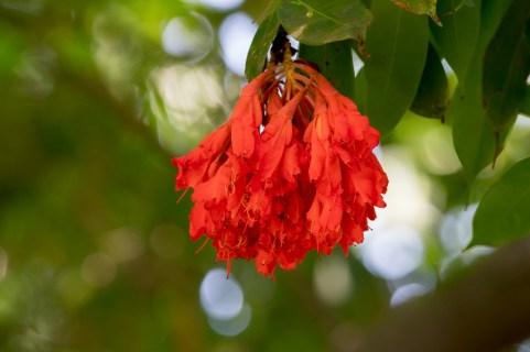66-brownea-ariza