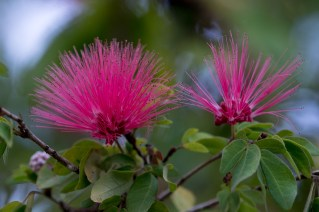 003-calliandra-harrisii