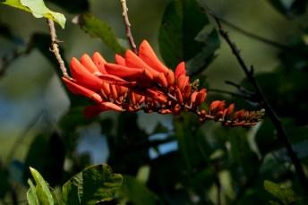 011-erythrina-senegalensis