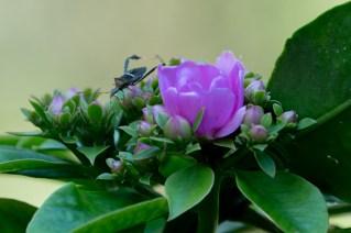 018-pereskia-grandifolia