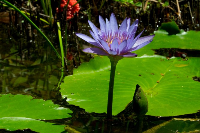 097-nymphaea-capensis