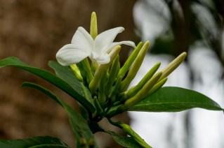 39-cerbera-manghas