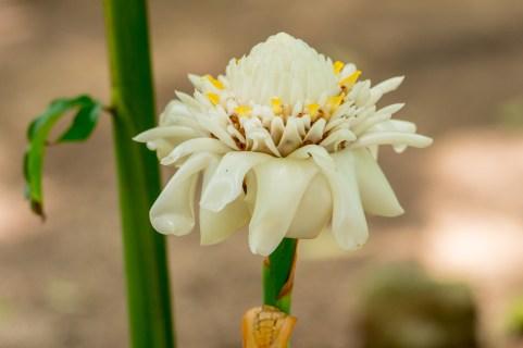 80-etlingera-white