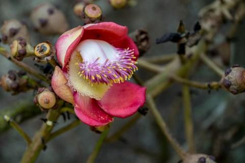 90-coroupita-guianensis