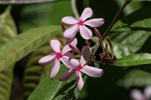 91-kopsia-fruticosa